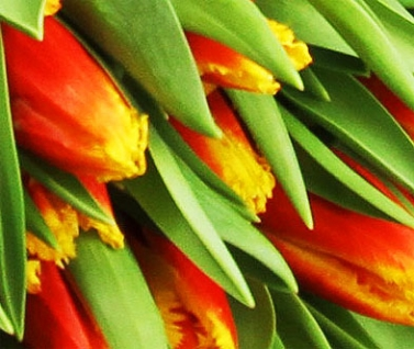 50 Medley of Orange and Yellow Tulips Wrap