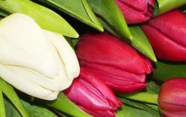 50 Purple and White Tulips