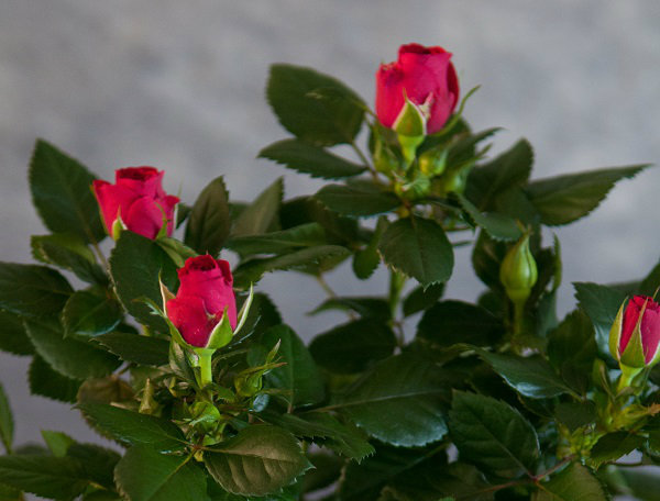 Flowers Red Rose Pot