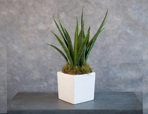 Flowers Sanseveria Pot