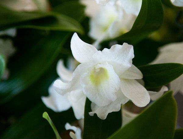 Flowers Tremendous Dendrobium