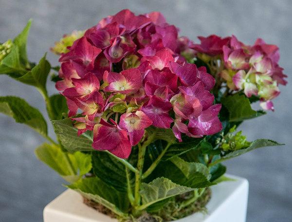 Flowers Hydrangea Pot
