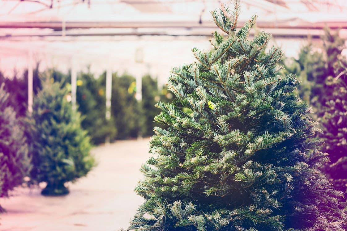 xmas-trees-min.jpg